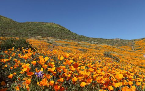 "California ""Superbloom"""