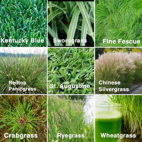 Science Corner: Types of Grass